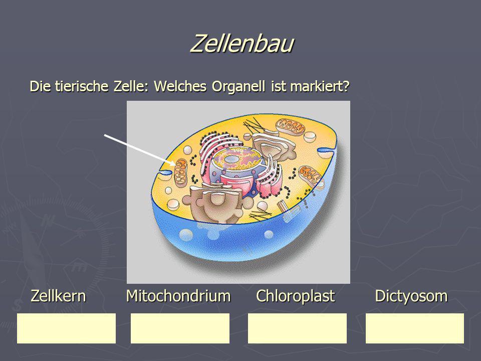 Zellenbau Die tierische Zelle: Welches Organell ist markiert? Zellkern Mitochondrium Chloroplast Dictyosom Zellkern Mitochondrium Chloroplast Dictyoso