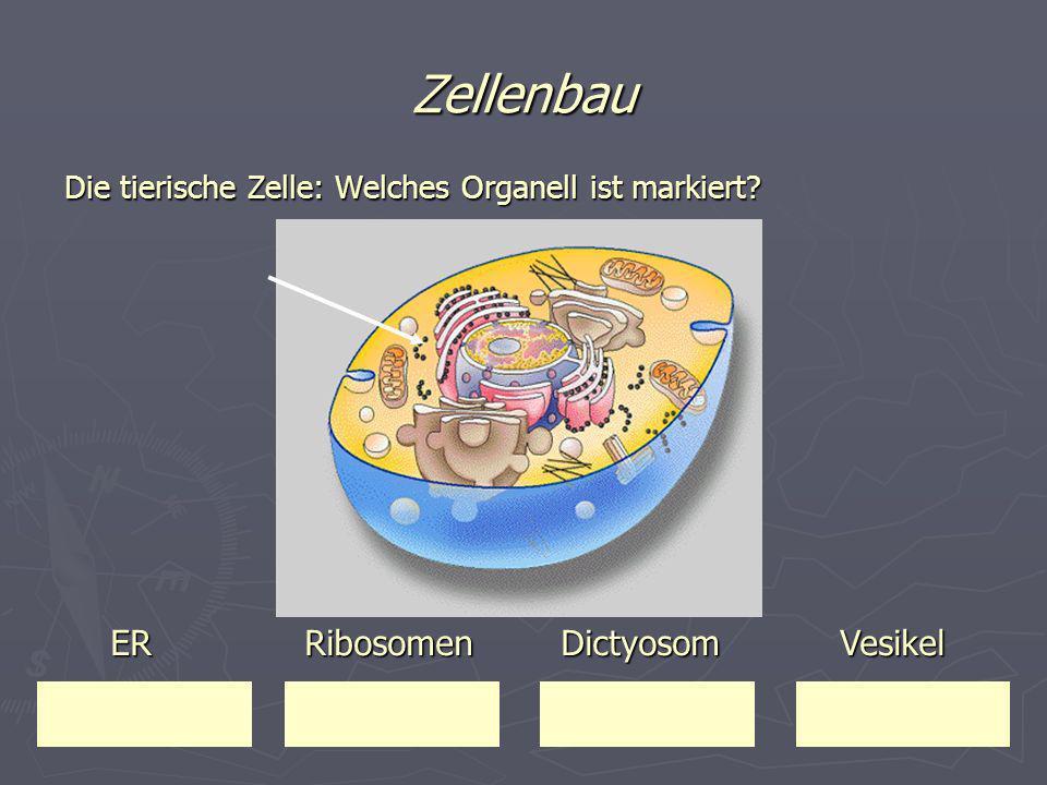 Zellenbau Die tierische Zelle: Welches Organell ist markiert? ER Ribosomen Dictyosom Vesikel ER Ribosomen Dictyosom Vesikel