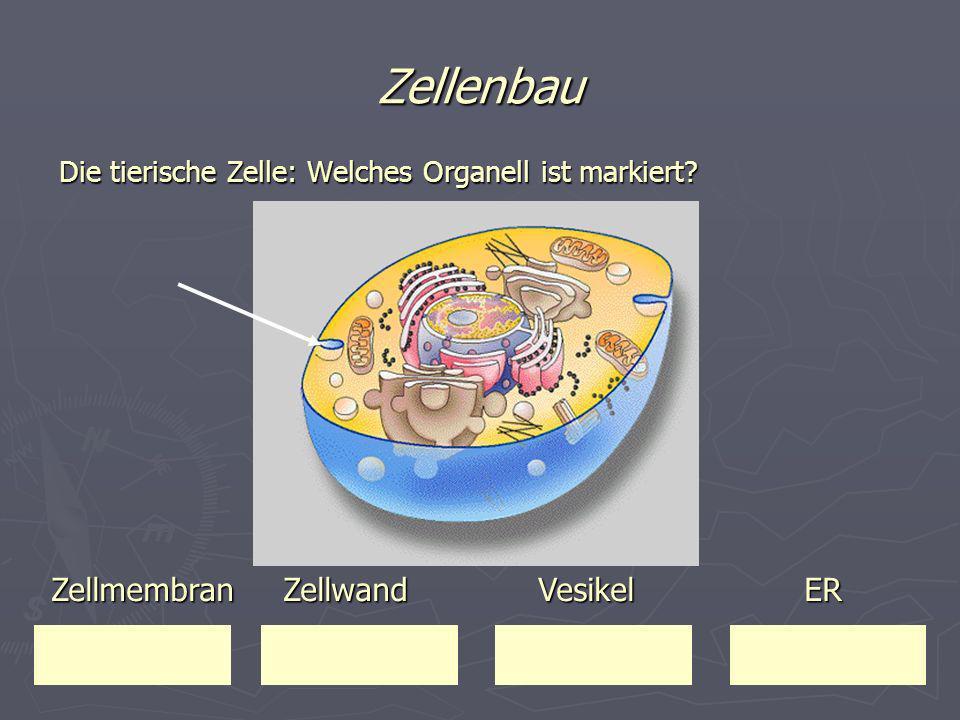 Zellenbau Die tierische Zelle: Welches Organell ist markiert? Zellmembran Zellwand Vesikel ER