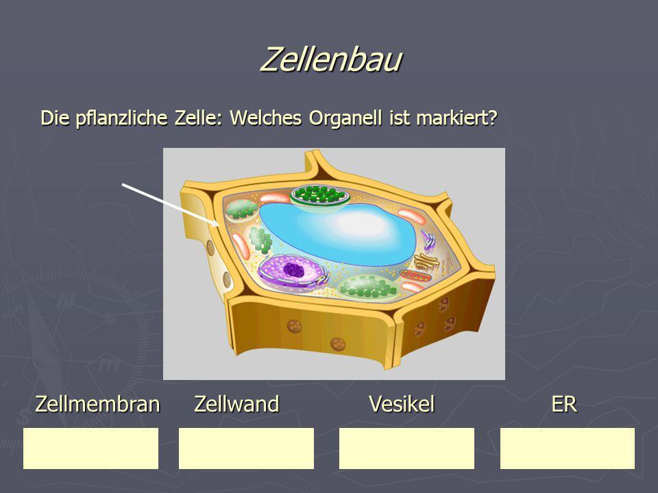 Zellenbau Die pflanzliche Zelle: Welches Organell ist markiert? Zellmembran Zellwand Vesikel ER