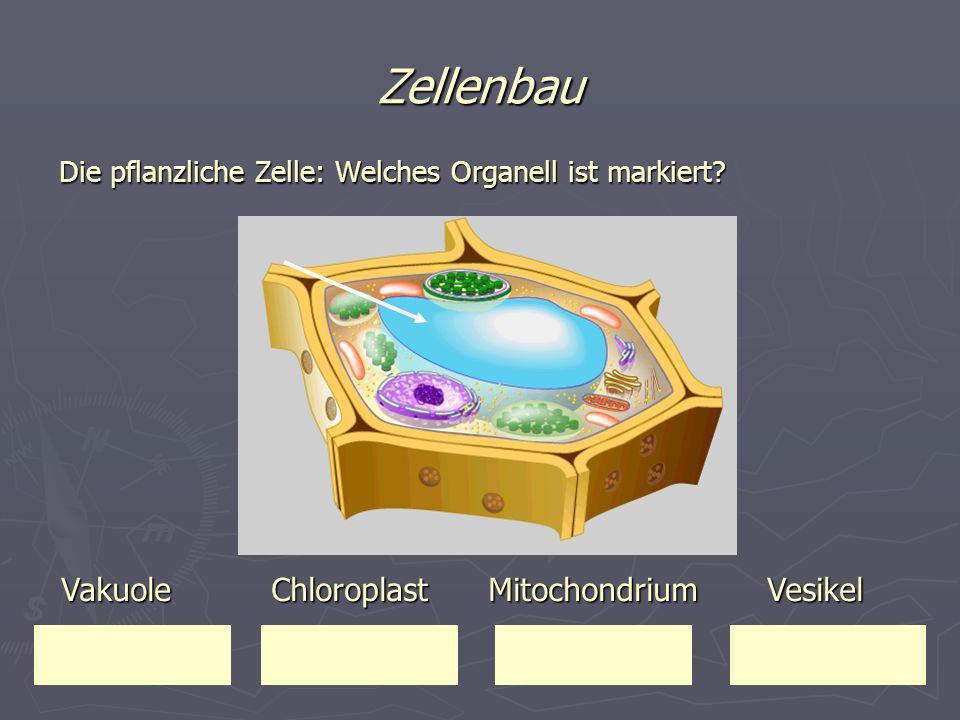 Zellenbau Die pflanzliche Zelle: Welches Organell ist markiert? Vakuole Chloroplast Mitochondrium Vesikel Vakuole Chloroplast Mitochondrium Vesikel
