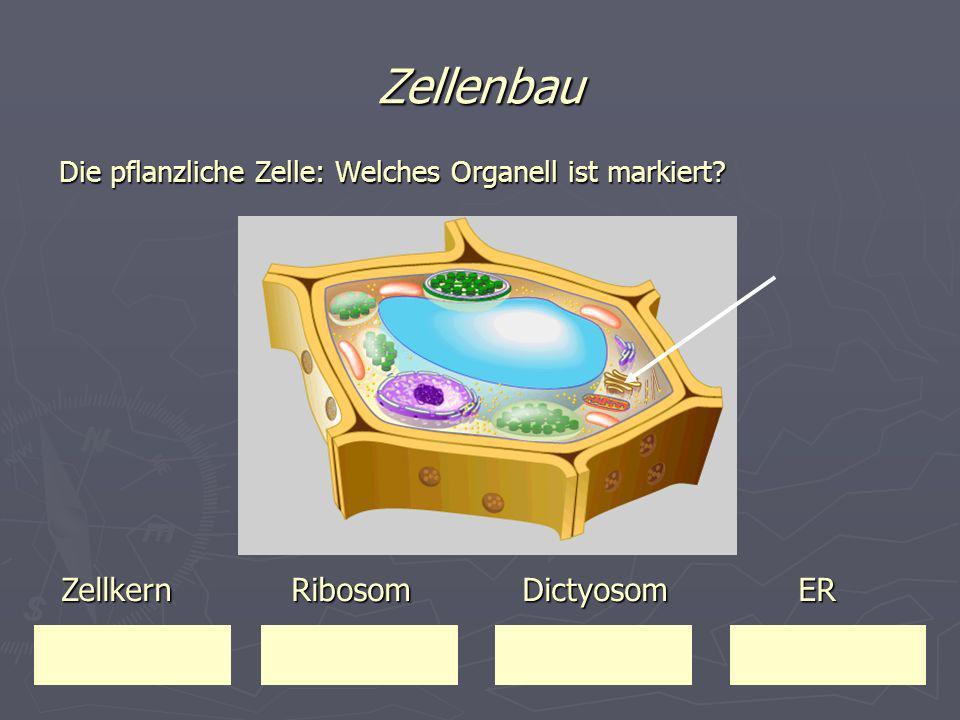 Zellenbau Die pflanzliche Zelle: Welches Organell ist markiert? Zellkern Ribosom Dictyosom ER Zellkern Ribosom Dictyosom ER