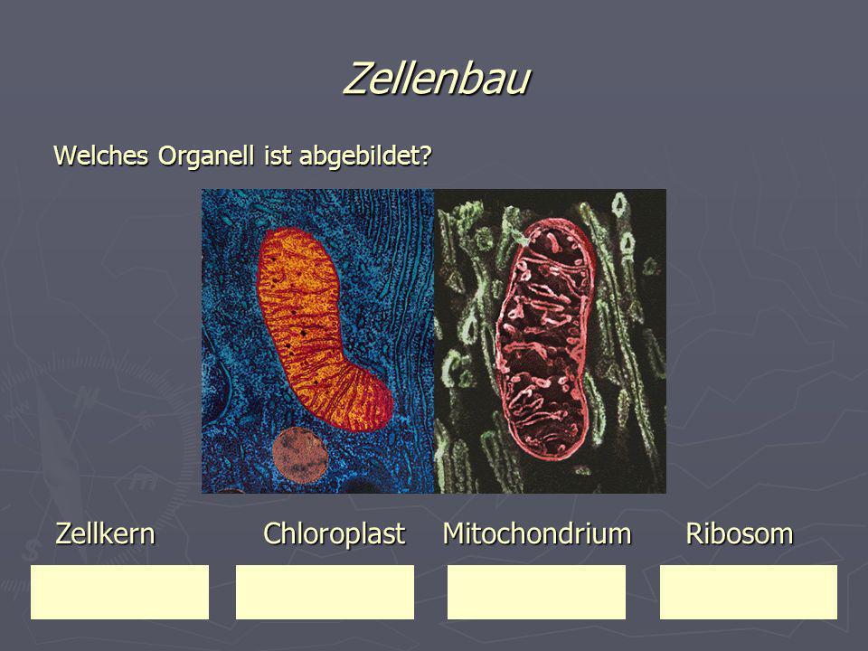Zellenbau Welches Organell ist abgebildet? Zellkern Chloroplast Mitochondrium Ribosom Zellkern Chloroplast Mitochondrium Ribosom