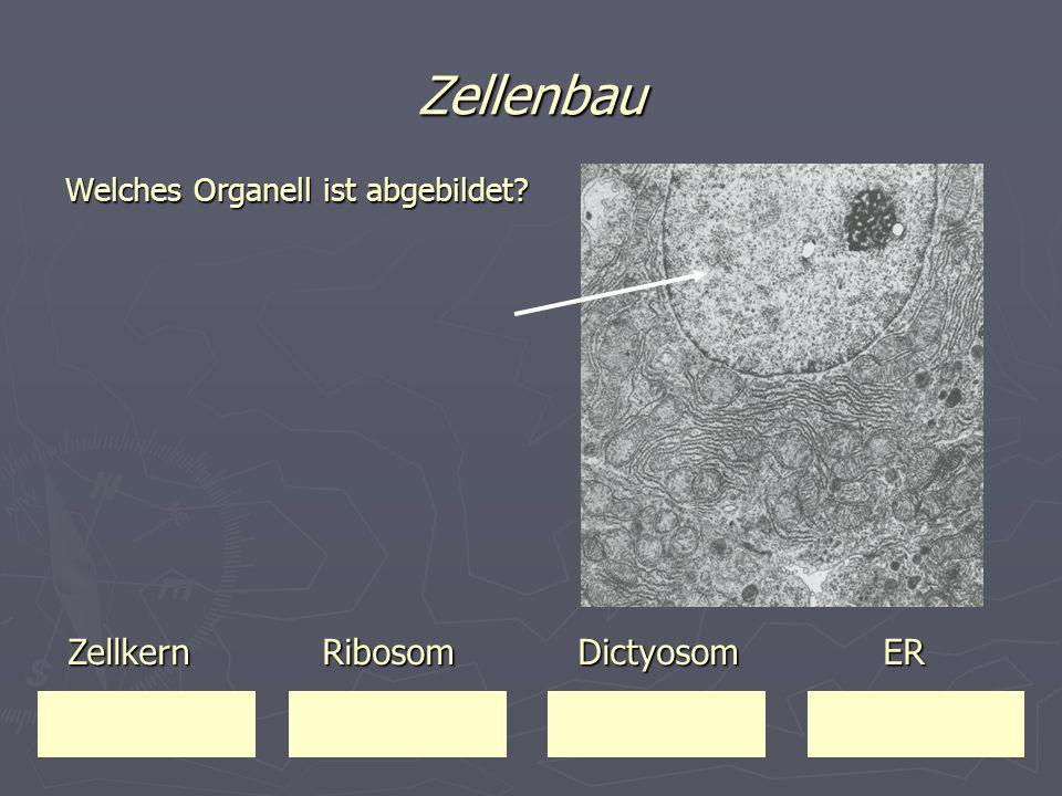 Zellenbau Welches Organell ist abgebildet? Zellkern Ribosom Dictyosom ER Zellkern Ribosom Dictyosom ER