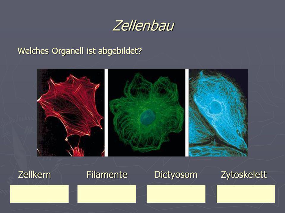 Zellenbau Welches Organell ist abgebildet? Zellkern Filamente Dictyosom Zytoskelett Zellkern Filamente Dictyosom Zytoskelett