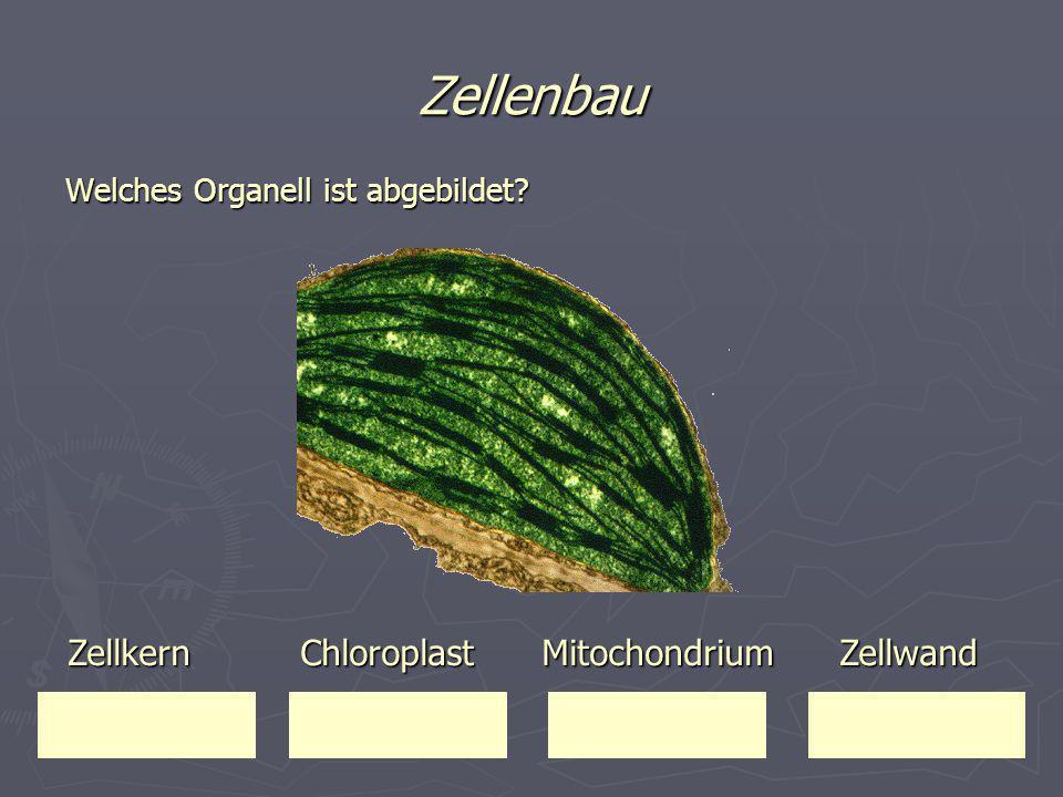 Zellenbau Welches Organell ist abgebildet? Zellkern Chloroplast Mitochondrium Zellwand Zellkern Chloroplast Mitochondrium Zellwand