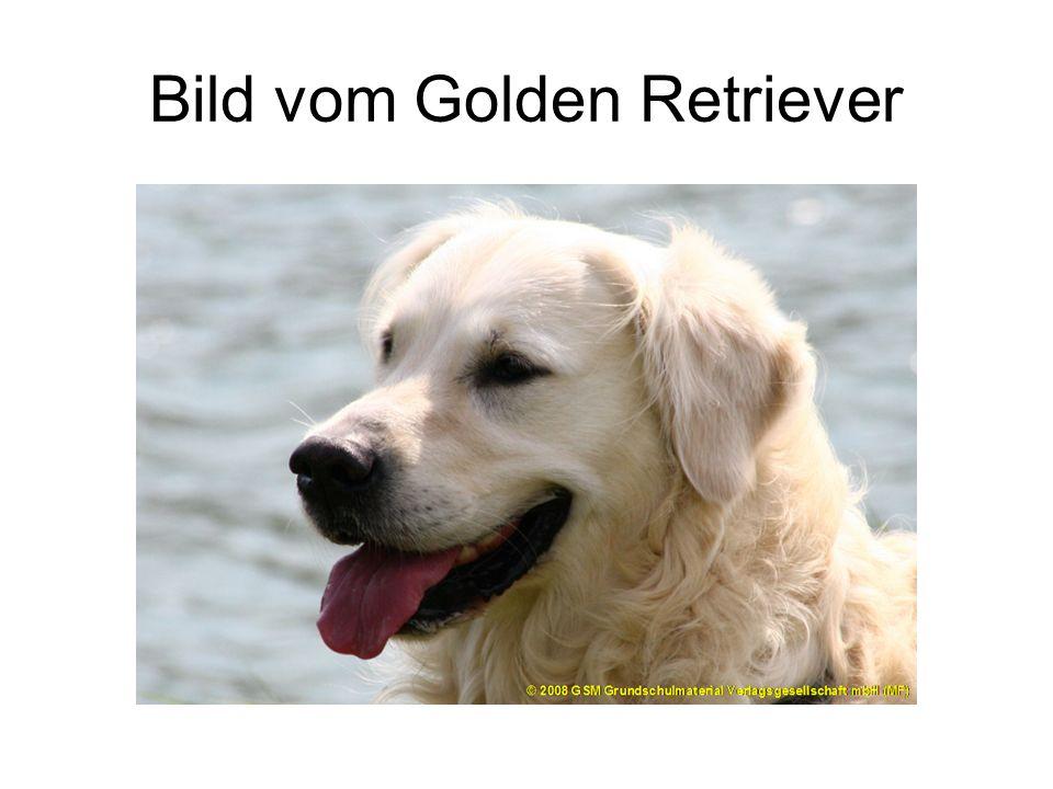 Bild vom Golden Retriever