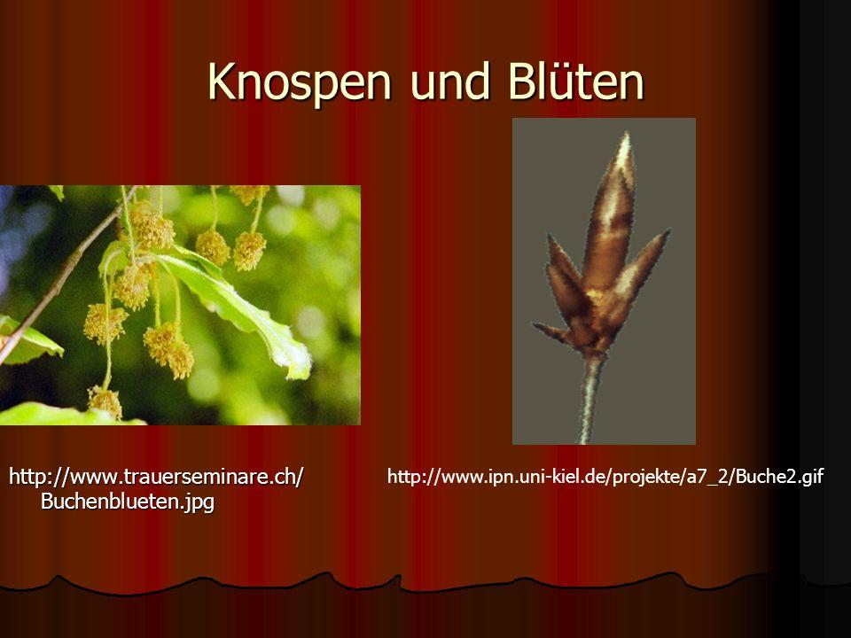 Knospen und Blüten http://www.trauerseminare.ch/ Buchenblueten.jpg http://www.ipn.uni-kiel.de/projekte/a7_2/Buche2.gif