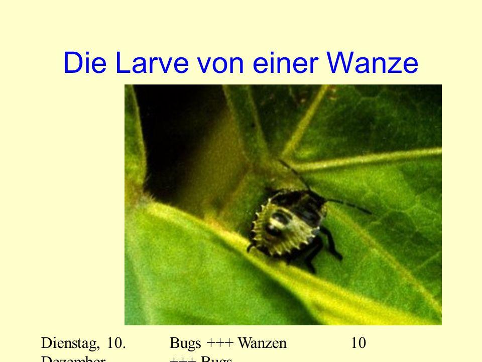 Dienstag, 10. Dezember 2013 Bugs +++ Wanzen +++ Bugs 10 Die Larve von einer Wanze