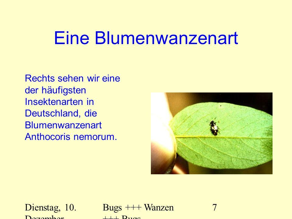 Dienstag, 10. Dezember 2013 Bugs +++ Wanzen +++ Bugs 7 Eine Blumenwanzenart Rechts sehen wir eine der häufigsten Insektenarten in Deutschland, die Blu