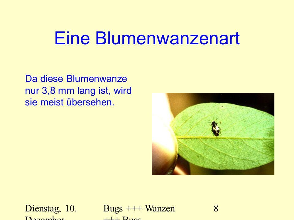 Dienstag, 10. Dezember 2013 Bugs +++ Wanzen +++ Bugs 8 Eine Blumenwanzenart Da diese Blumenwanze nur 3,8 mm lang ist, wird sie meist übersehen.