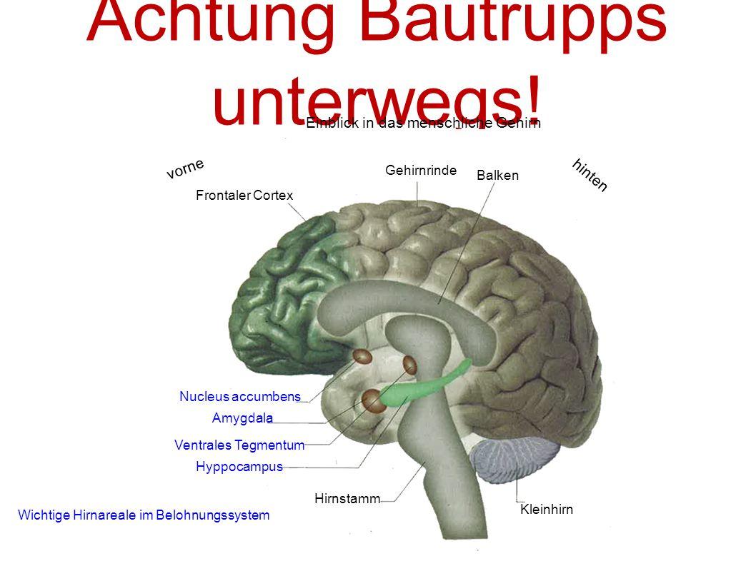 Achtung Bautrupps unterwegs! Einblick in das menschliche Gehirn Frontaler Cortex Gehirnrinde Balken vorne hinten Kleinhirn Amygdala Nucleus accumbens