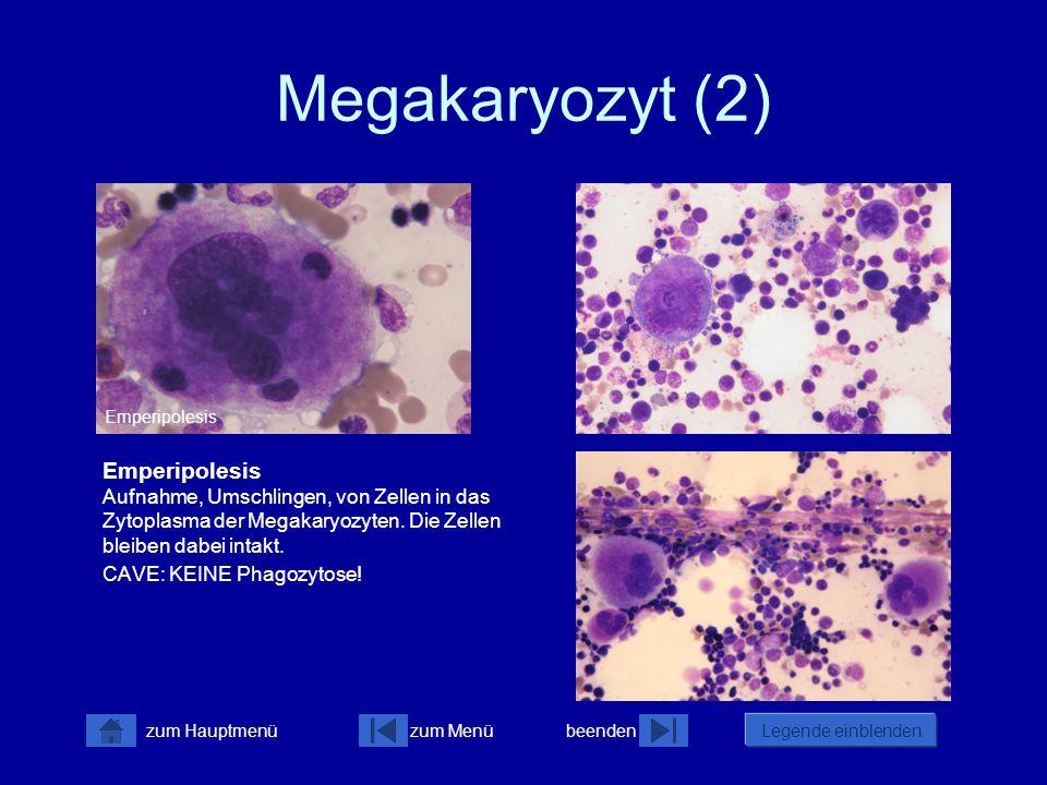 zum Menübeenden Legende einblenden zum Hauptmenü Megakaryozyt (2) Emperipolesis Aufnahme, Umschlingen, von Zellen in das Zytoplasma der Megakaryozyten