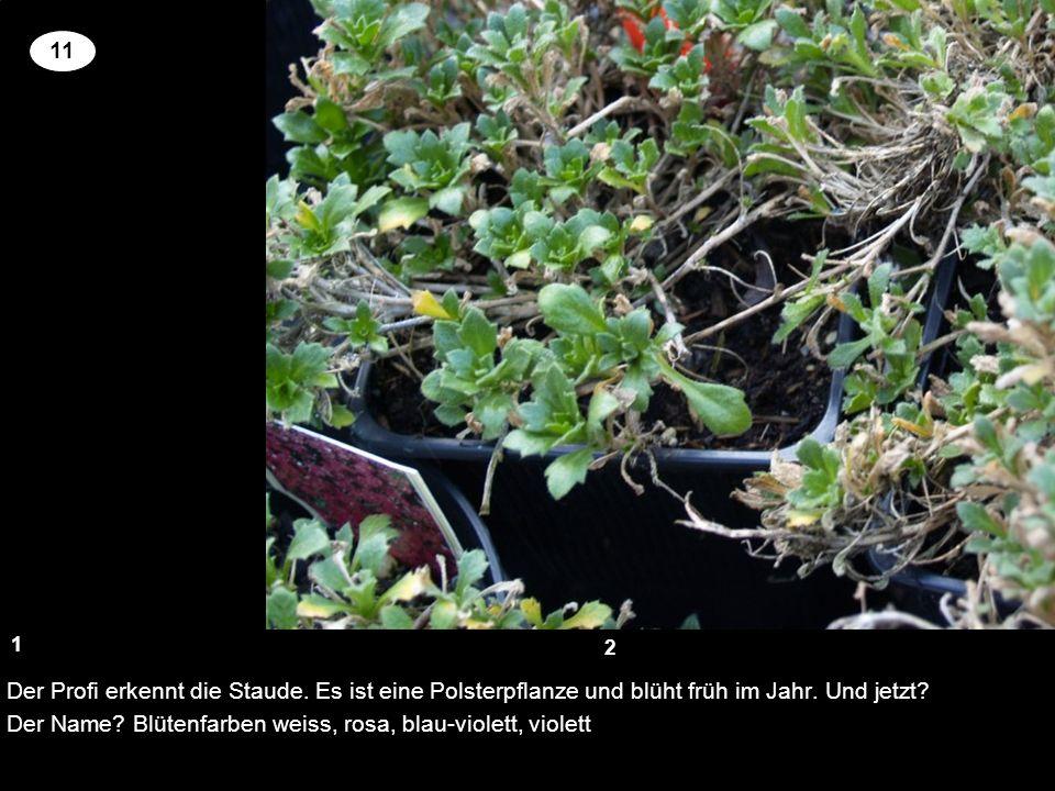 Der Profi erkennt die Staude. Es ist eine Polsterpflanze und blüht früh im Jahr. Und jetzt? Der Name? Blütenfarben weiss, rosa, blau-violett, violett