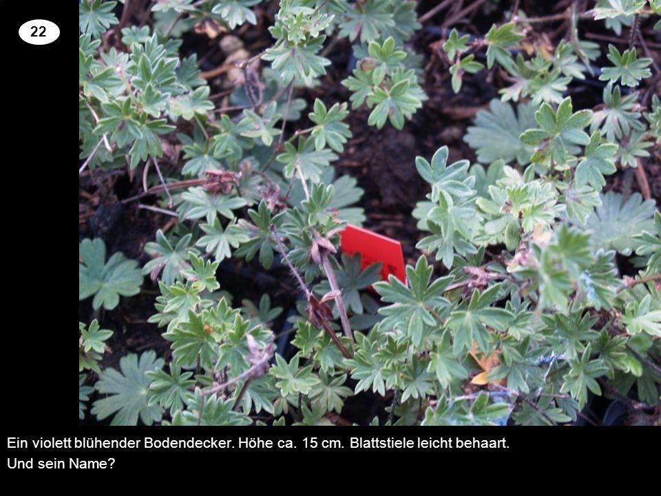 Ein violett blühender Bodendecker. Höhe ca. 15 cm. Blattstiele leicht behaart. Und sein Name? 22