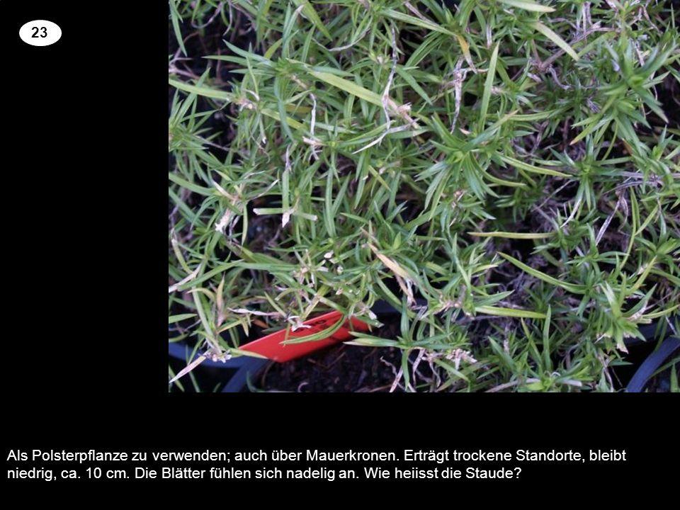 Als Polsterpflanze zu verwenden; auch über Mauerkronen. Erträgt trockene Standorte, bleibt niedrig, ca. 10 cm. Die Blätter fühlen sich nadelig an. Wie