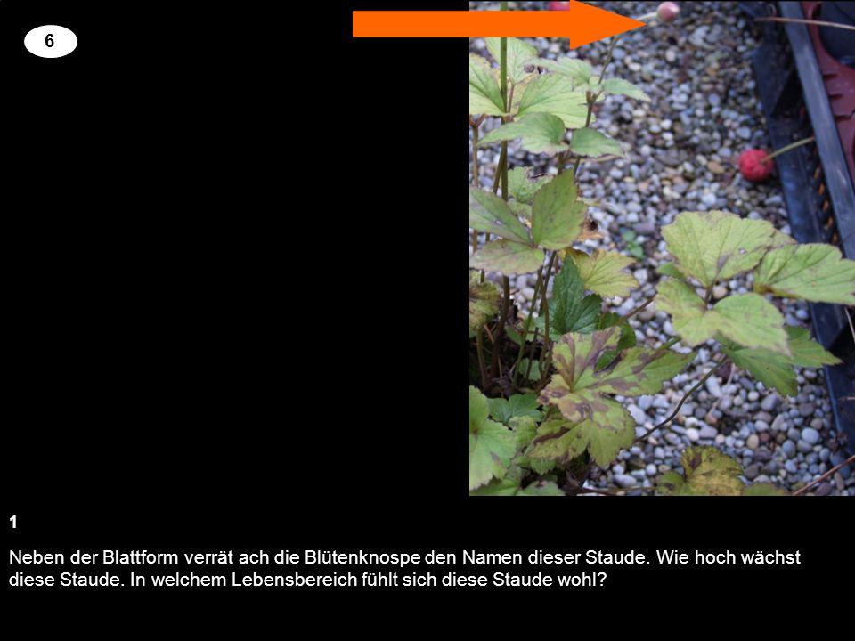 Neben der Blattform verrät ach die Blütenknospe den Namen dieser Staude. Wie hoch wächst diese Staude. In welchem Lebensbereich fühlt sich diese Staud