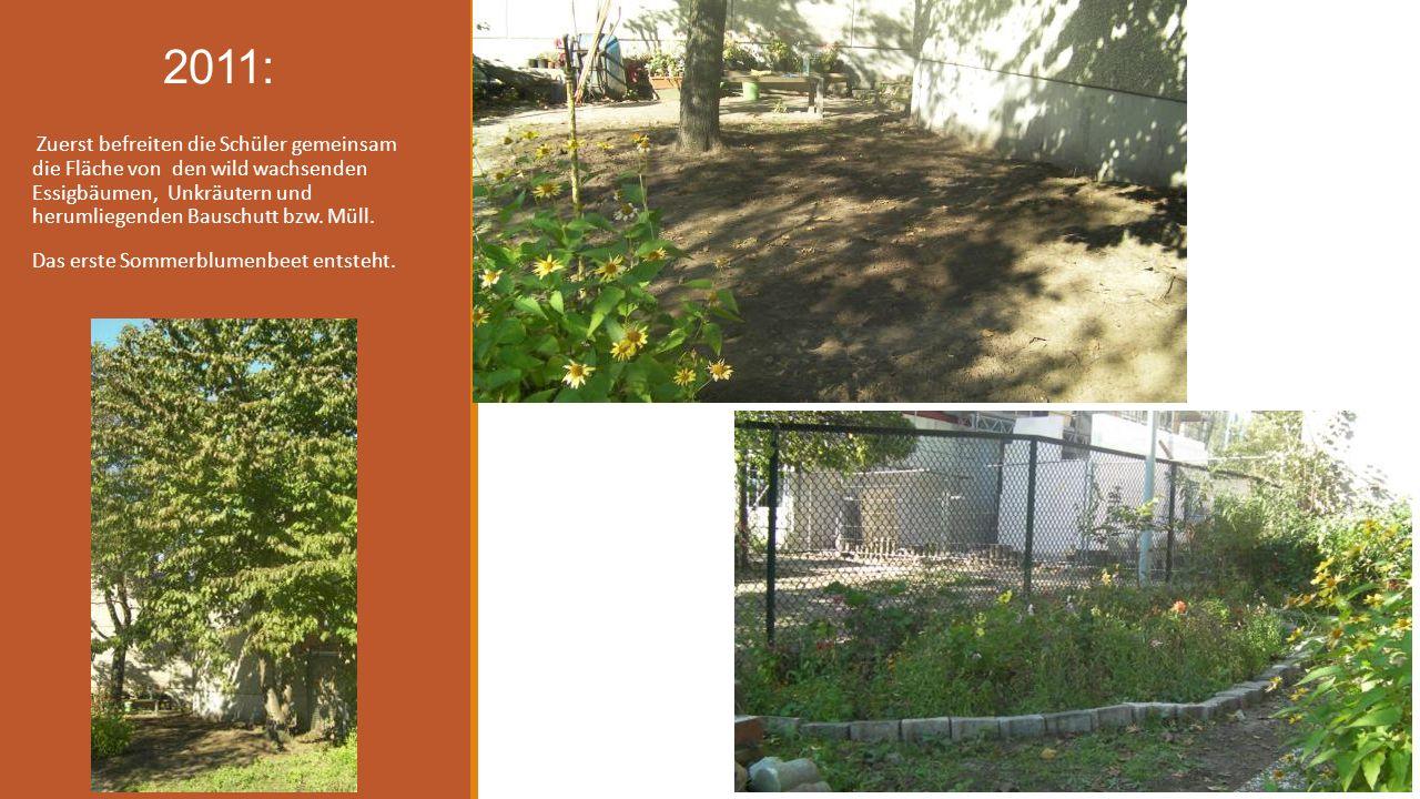 2011: Zuerst befreiten die Schüler gemeinsam die Fläche von den wild wachsenden Essigbäumen, Unkräutern und herumliegenden Bauschutt bzw. Müll. Das er