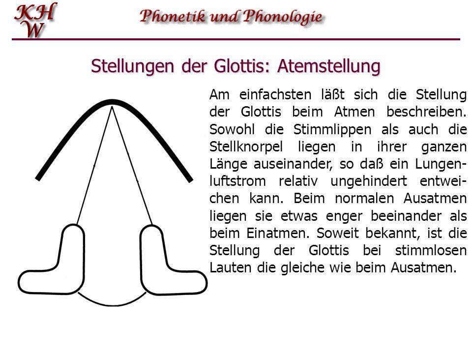 Stellungen der Glottis: Atemstellung Am einfachsten läßt sich die Stellung der Glottis beim Atmen beschreiben. Sowohl die Stimmlippen als auch die Ste