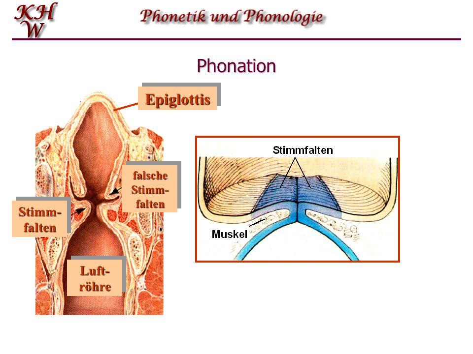 Phonation EpiglottisEpiglottis Stimm- falten falsche Stimm- falten Luft- röhre Stimm- falten falsche Stimm- falten