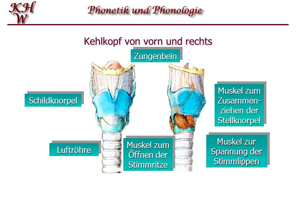 Kehlkopf von vorn und rechts LuftröhreLuftröhre SchildknorpelSchildknorpel Muskel zum Zusammen- ziehen der Stellknorpel Muskel zur Spannung der Stimml
