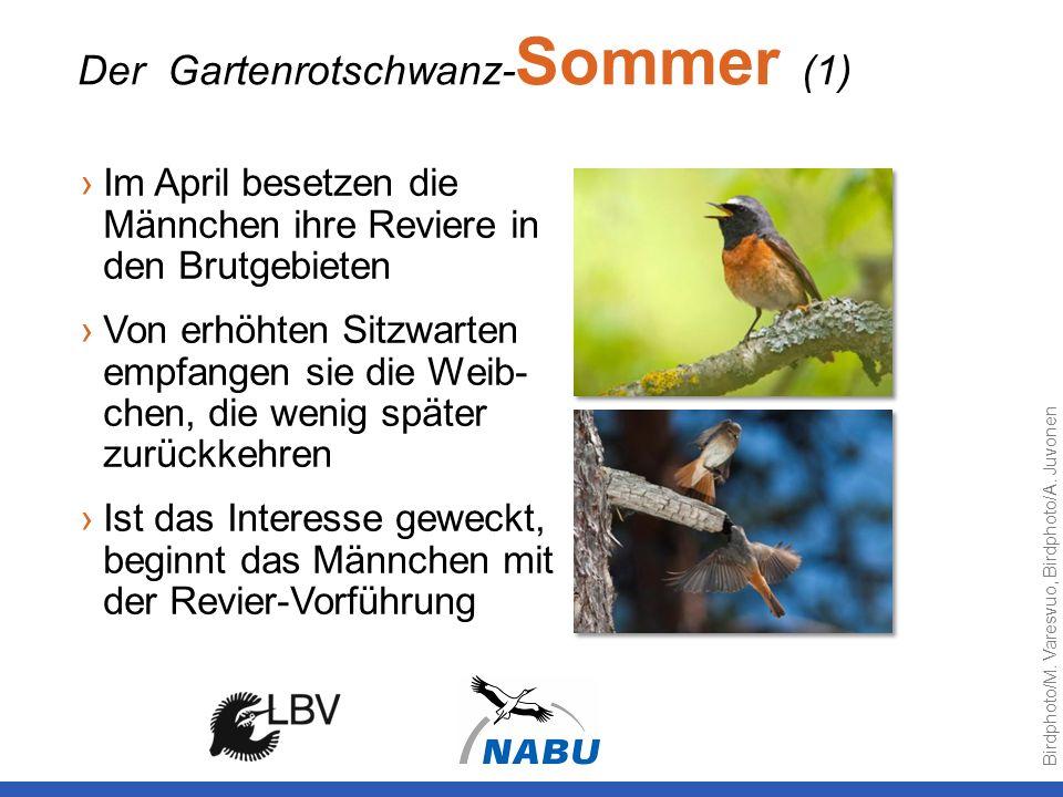 Im April besetzen die Männchen ihre Reviere in den Brutgebieten Von erhöhten Sitzwarten empfangen sie die Weib- chen, die wenig später zurückkehren Is