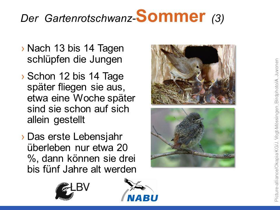 Nach 13 bis 14 Tagen schlüpfen die Jungen Schon 12 bis 14 Tage später fliegen sie aus, etwa eine Woche später sind sie schon auf sich allein gestellt