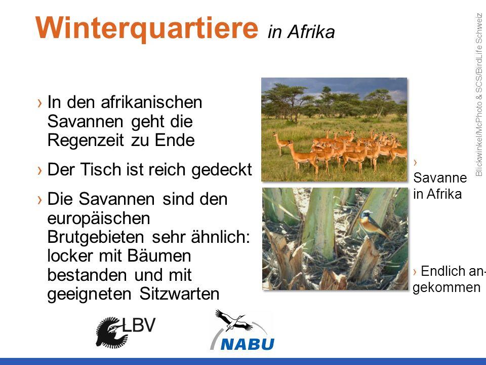 Winterquartiere in Afrika In den afrikanischen Savannen geht die Regenzeit zu Ende Der Tisch ist reich gedeckt Die Savannen sind den europäischen Brut