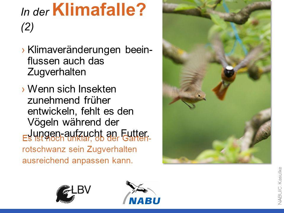 Klimaveränderungen beein- flussen auch das Zugverhalten Wenn sich Insekten zunehmend früher entwickeln, fehlt es den Vögeln während der Jungen-aufzuch