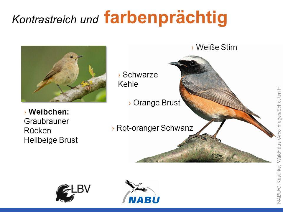 Orange Brust Weiße Stirn Rot-oranger Schwanz Schwarze Kehle Kontrastreich und farbenprächtig Weibchen: Graubrauner Rücken Hellbeige Brust NABU/C. Kasu