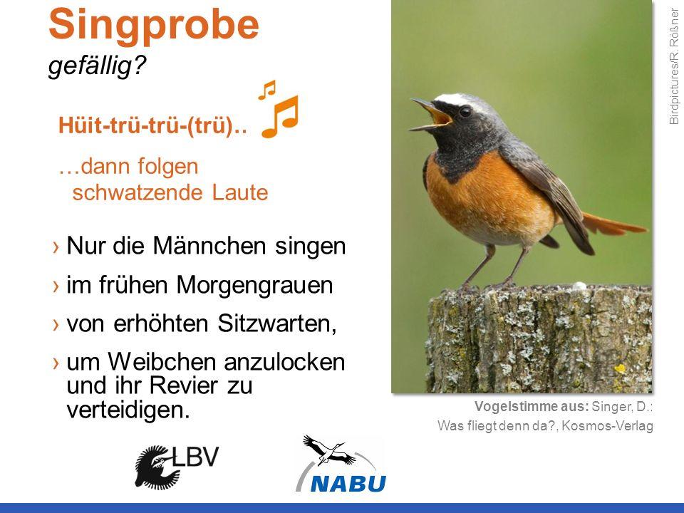 Singprobe gefällig? Nur die Männchen singen im frühen Morgengrauen von erhöhten Sitzwarten, um Weibchen anzulocken und ihr Revier zu verteidigen. Hüit
