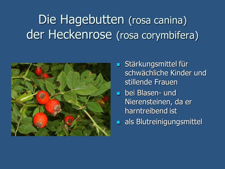 Die Hagebutten (rosa canina) der Heckenrose (rosa corymbifera) Stärkungsmittel für schwächliche Kinder und stillende Frauen Stärkungsmittel für schwäc