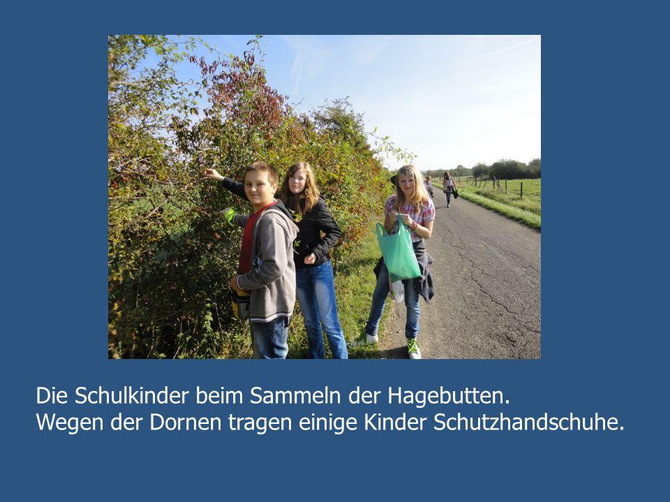 Die Schulkinder beim Sammeln der Hagebutten. Wegen der Dornen tragen einige Kinder Schutzhandschuhe.