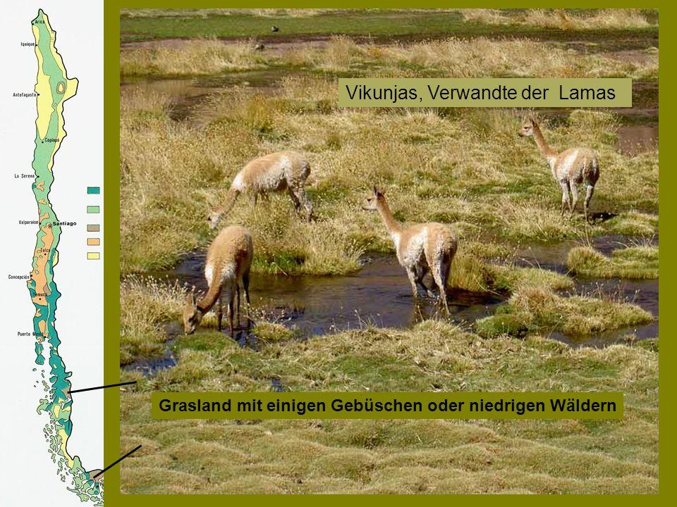 Grasland mit einigen Gebüschen oder niedrigen Wäldern Vikunjas, Verwandte der Lamas