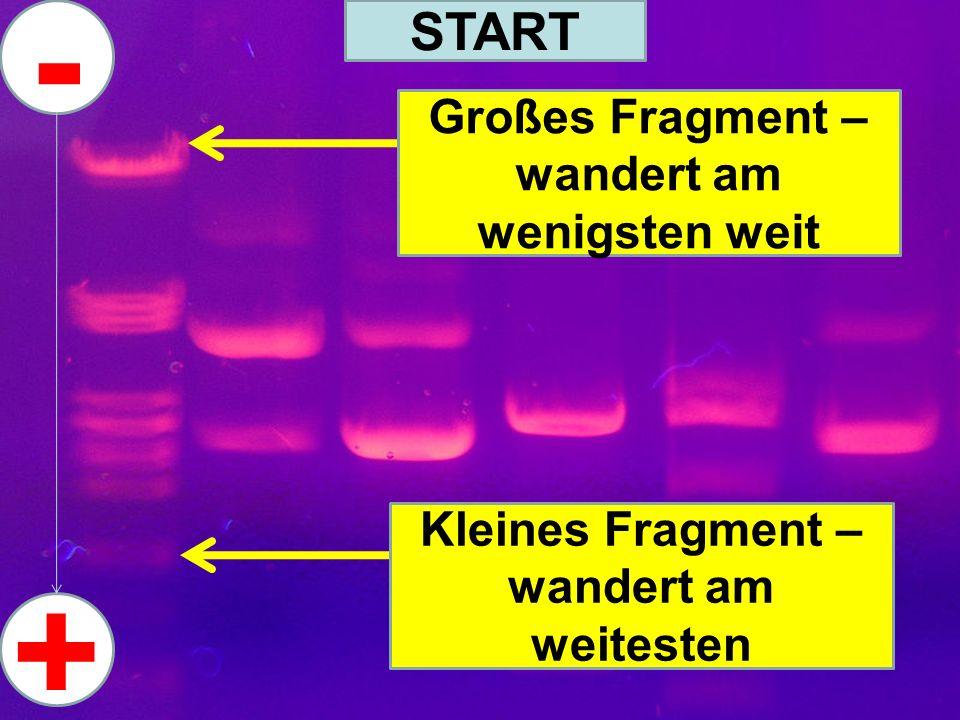 START Großes Fragment – wandert am wenigsten weit Kleines Fragment – wandert am weitesten - +