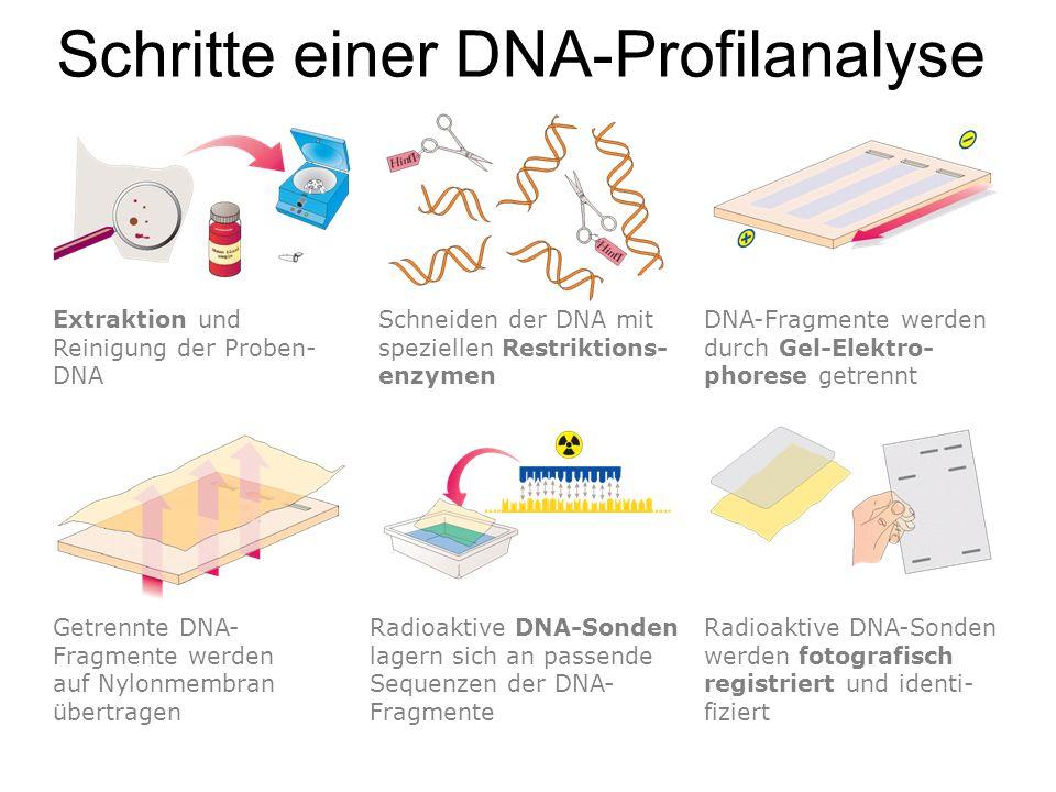 Schritte einer DNA-Profilanalyse Extraktion und Reinigung der Proben- DNA Schneiden der DNA mit speziellen Restriktions- enzymen DNA-Fragmente werden