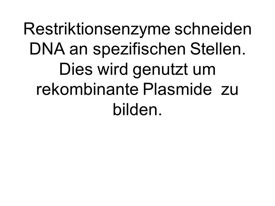 Restriktionsenzyme schneiden DNA an spezifischen Stellen. Dies wird genutzt um rekombinante Plasmide zu bilden.