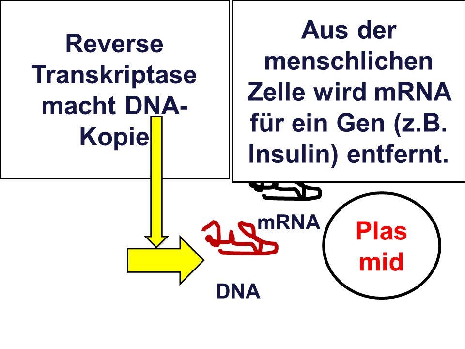 Plas mid Reverse Transkriptase macht DNA- Kopie mRNA DNA Aus der menschlichen Zelle wird mRNA für ein Gen (z.B. Insulin) entfernt.