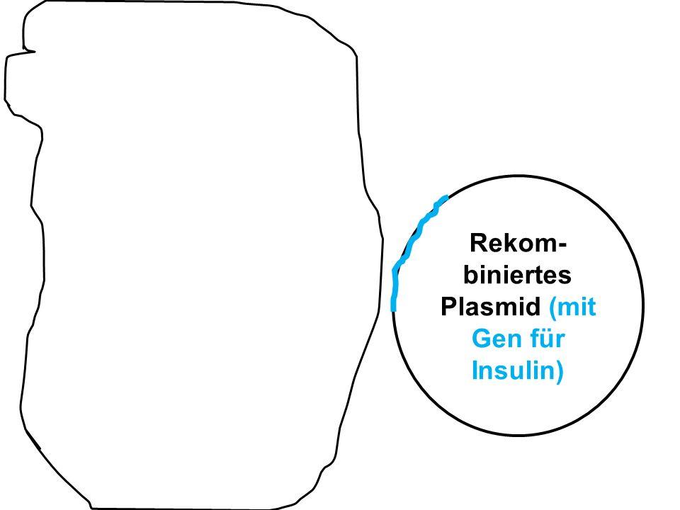 Rekom- biniertes Plasmid (mit Gen für Insulin)