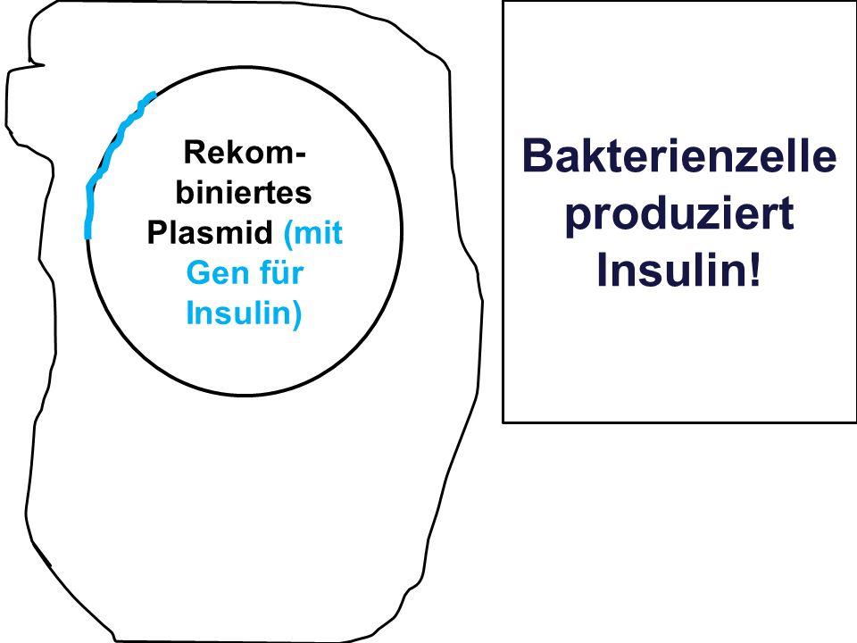 Bakterienzelle produziert Insulin! Rekom- biniertes Plasmid (mit Gen für Insulin)