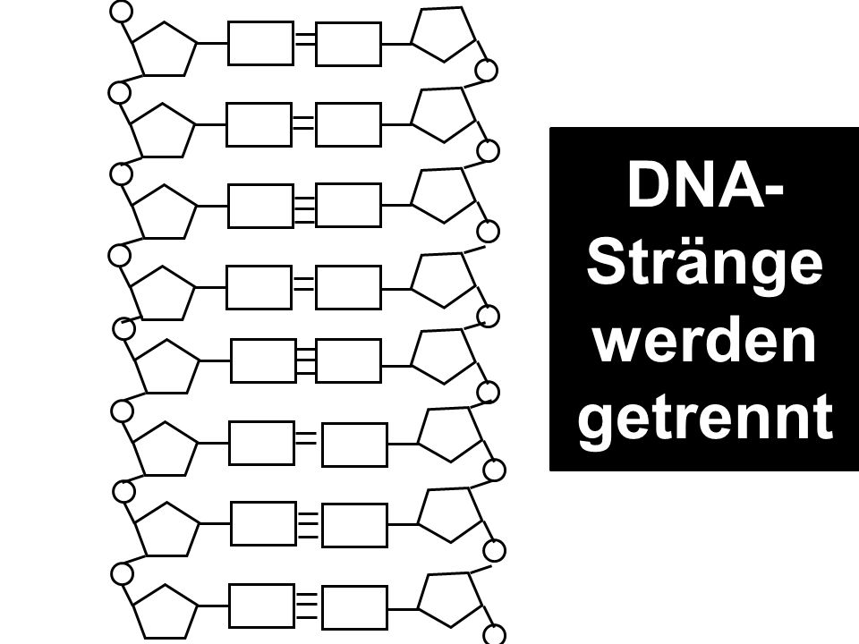 DNA- Stränge werden getrennt