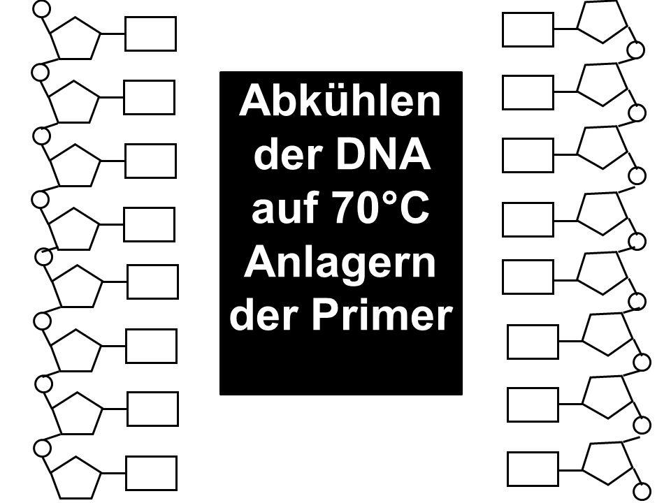 Abkühlen der DNA auf 70°C Anlagern der Primer