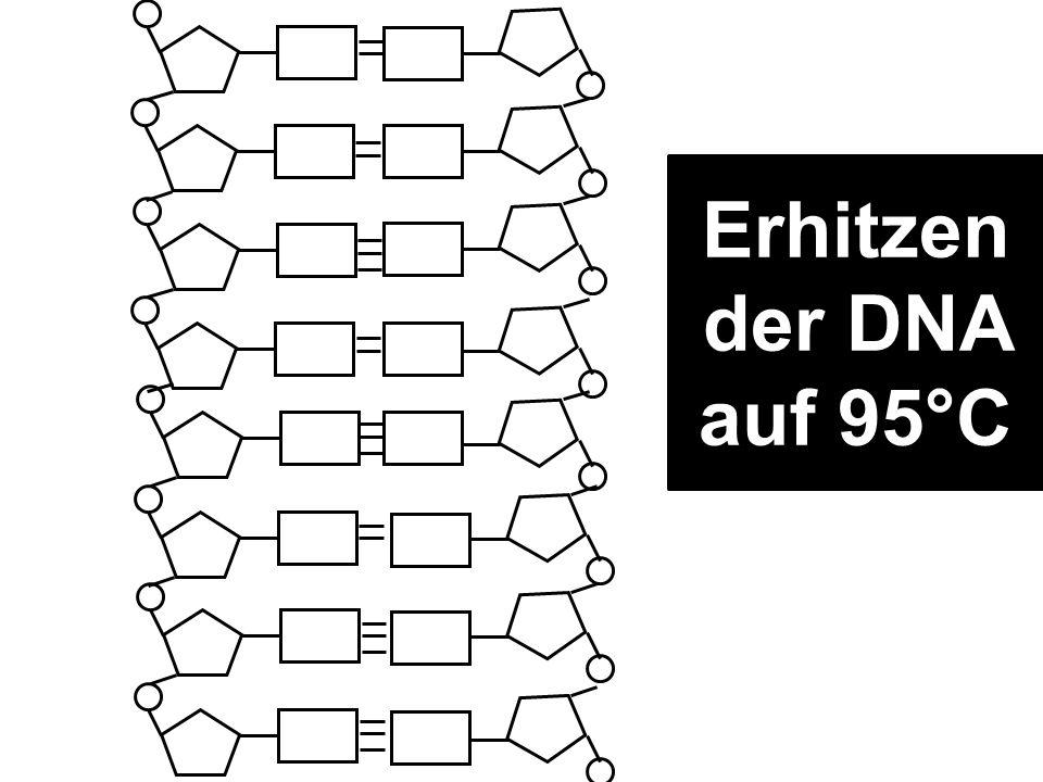 Erhitzen der DNA auf 95°C