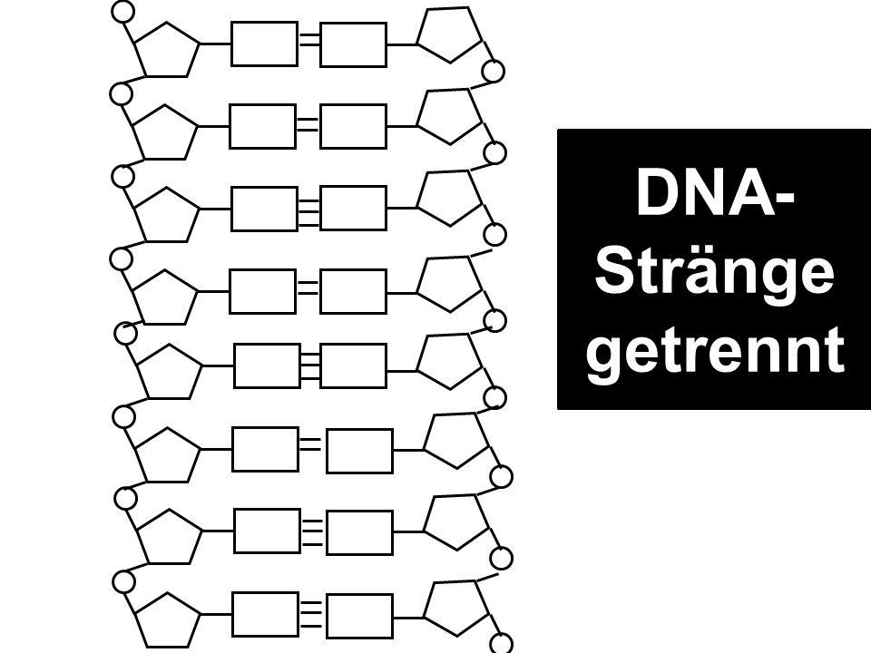 DNA- Stränge getrennt