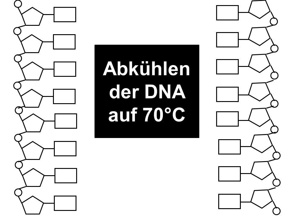 Abkühlen der DNA auf 70°C