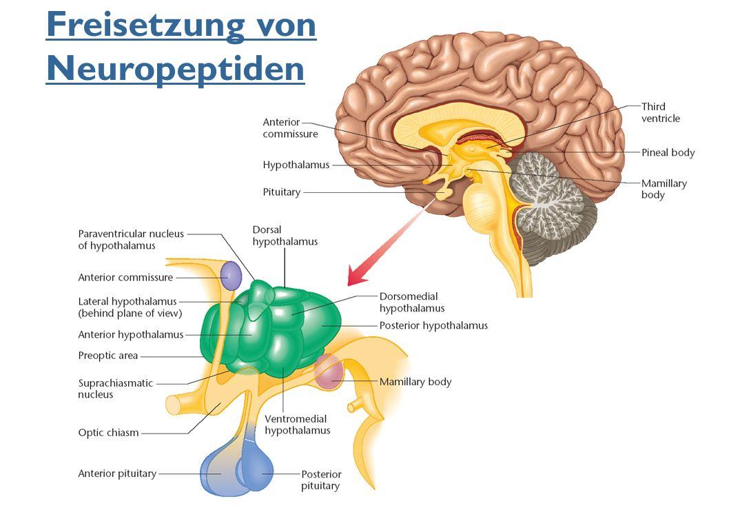Freisetzung von Neuropeptiden