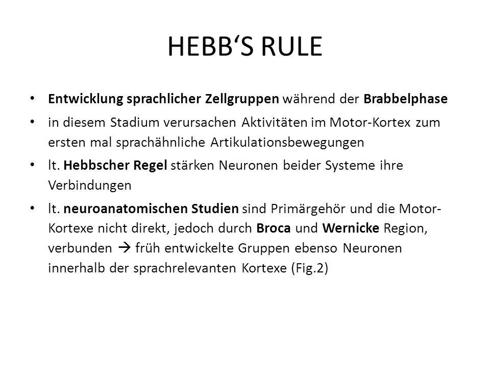 HEBBS RULE Entwicklung sprachlicher Zellgruppen während der Brabbelphase in diesem Stadium verursachen Aktivitäten im Motor-Kortex zum ersten mal spra
