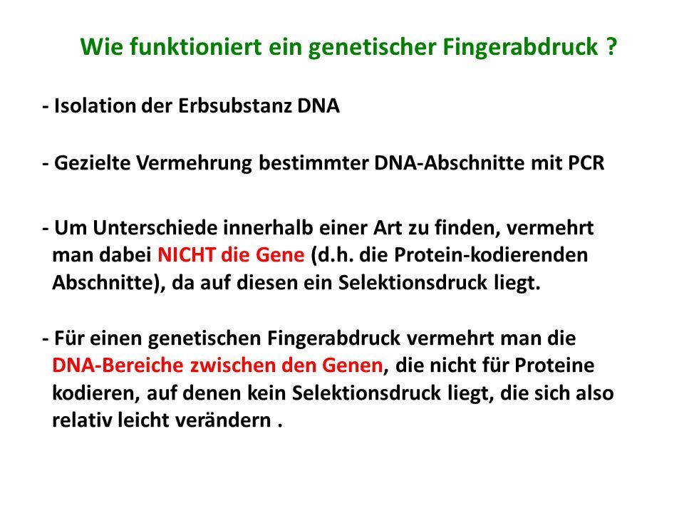 Wie funktioniert ein genetischer Fingerabdruck ? - Isolation der Erbsubstanz DNA - Gezielte Vermehrung bestimmter DNA-Abschnitte mit PCR - Um Untersch