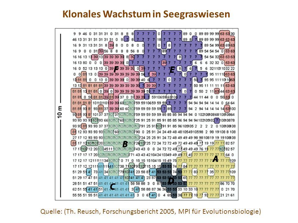 Quelle: (Th. Reusch, Forschungsbericht 2005, MPI für Evolutionsbiologie) Klonales Wachstum in Seegraswiesen