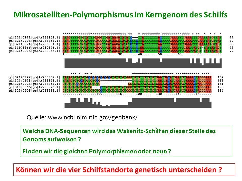 Mikrosatelliten-Polymorphismus im Kerngenom des Schilfs Quelle: www.ncbi.nlm.nih.gov/genbank/ Welche DNA-Sequenzen wird das Wakenitz-Schilf an dieser